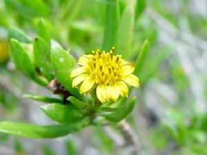 Borrichia arborescens