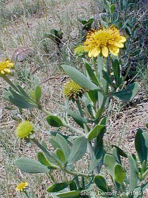 Borrichia frutescens