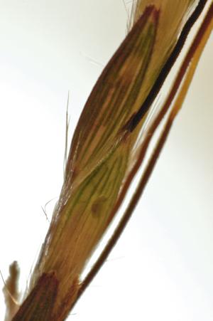 Bothriochloa pertusa