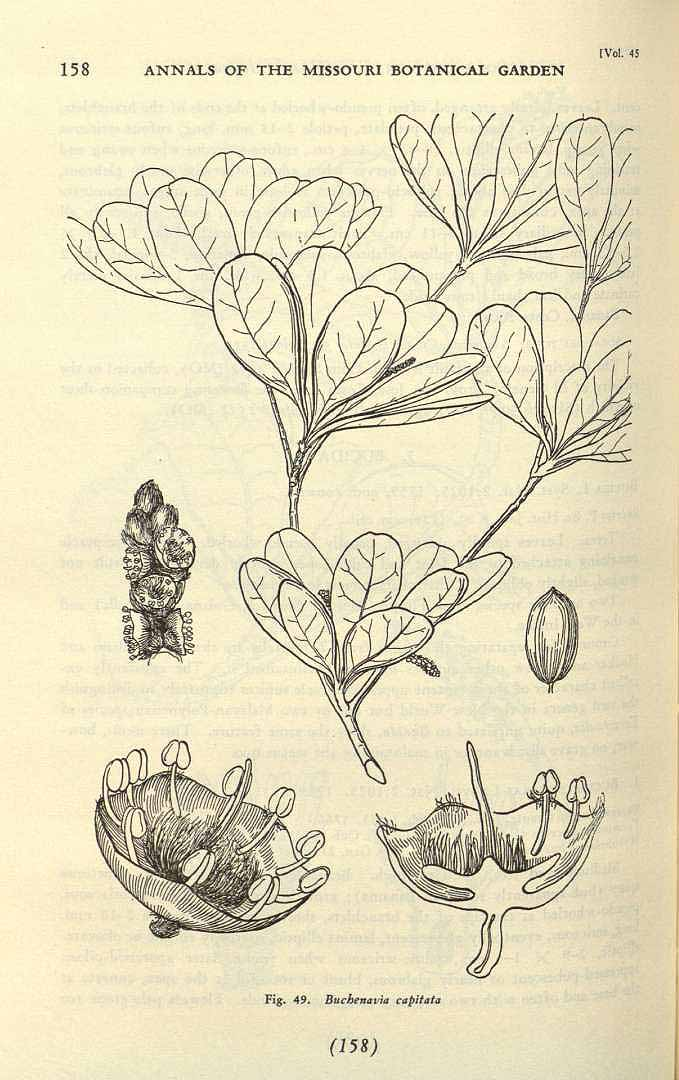 Buchenavia tetraphylla