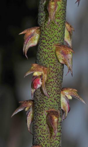 Bulbophyllum pachyrachis