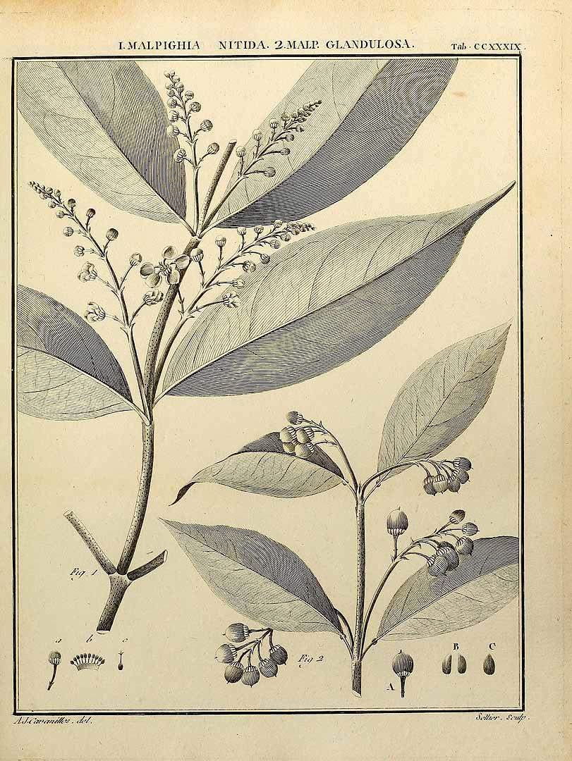 Bunchosia glandulosa
