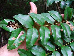 Caesalpinia major