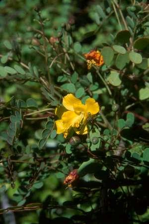 Caesalpinia pauciflora
