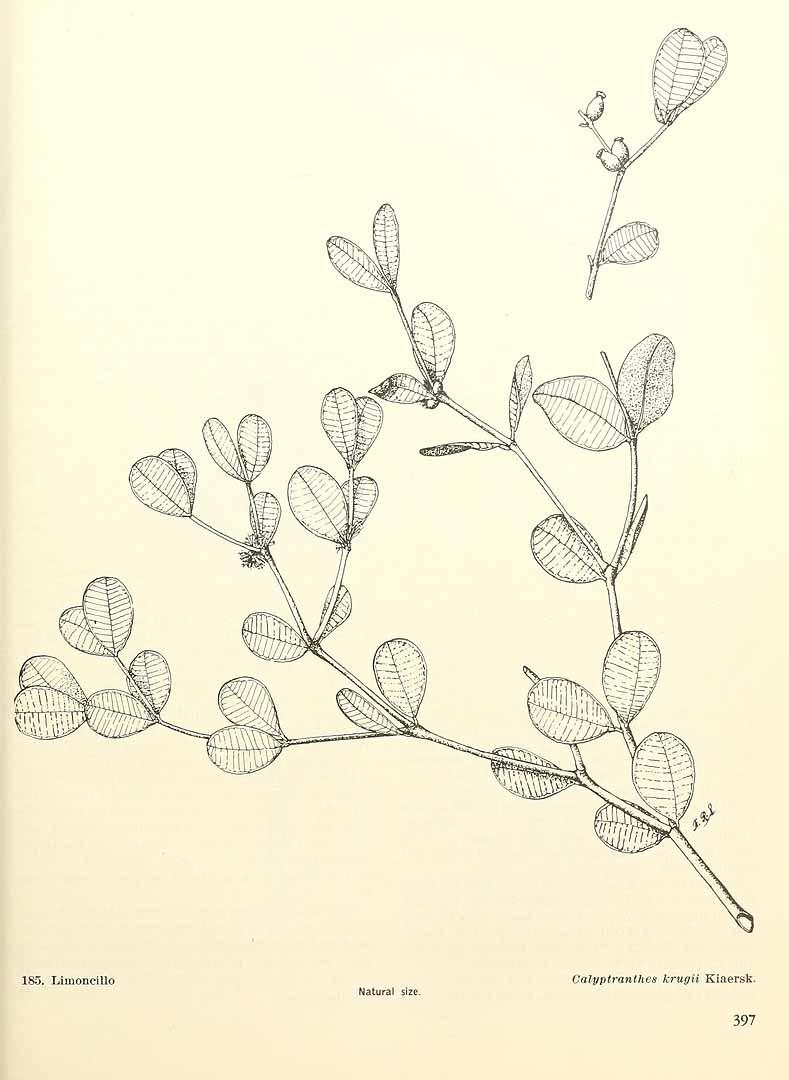 Calyptranthes krugii