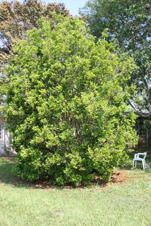 Calyptranthes zuzygium