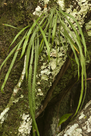 Campyloneurum angustifolium