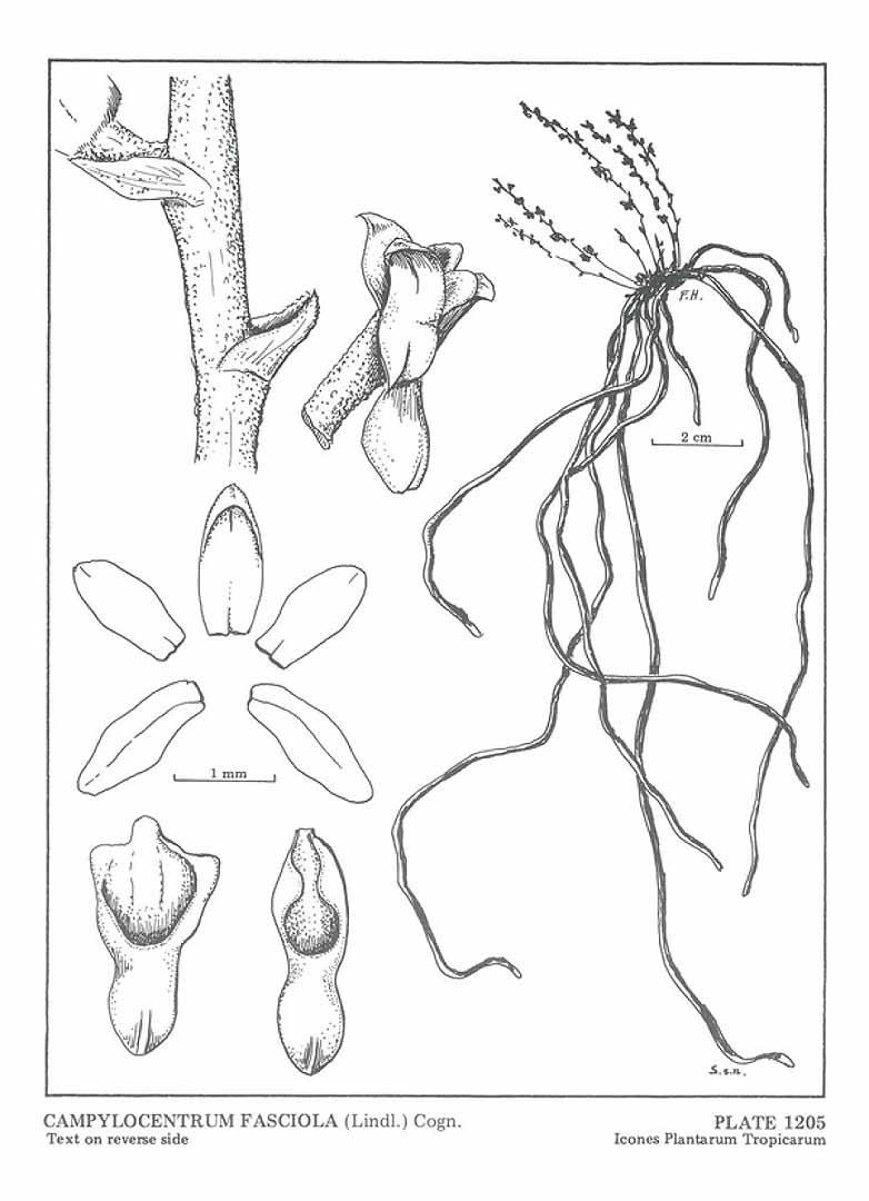 Campylocentrum fasciola