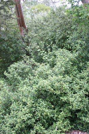 Varronia bullata
