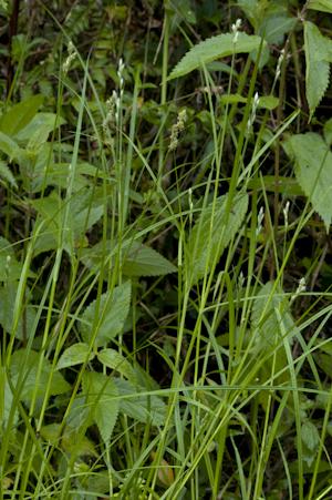 Carex longii