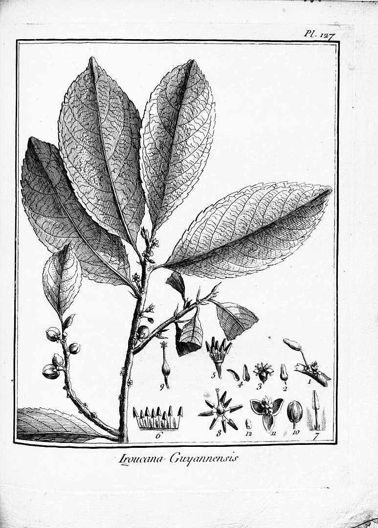 Casearia guianensis