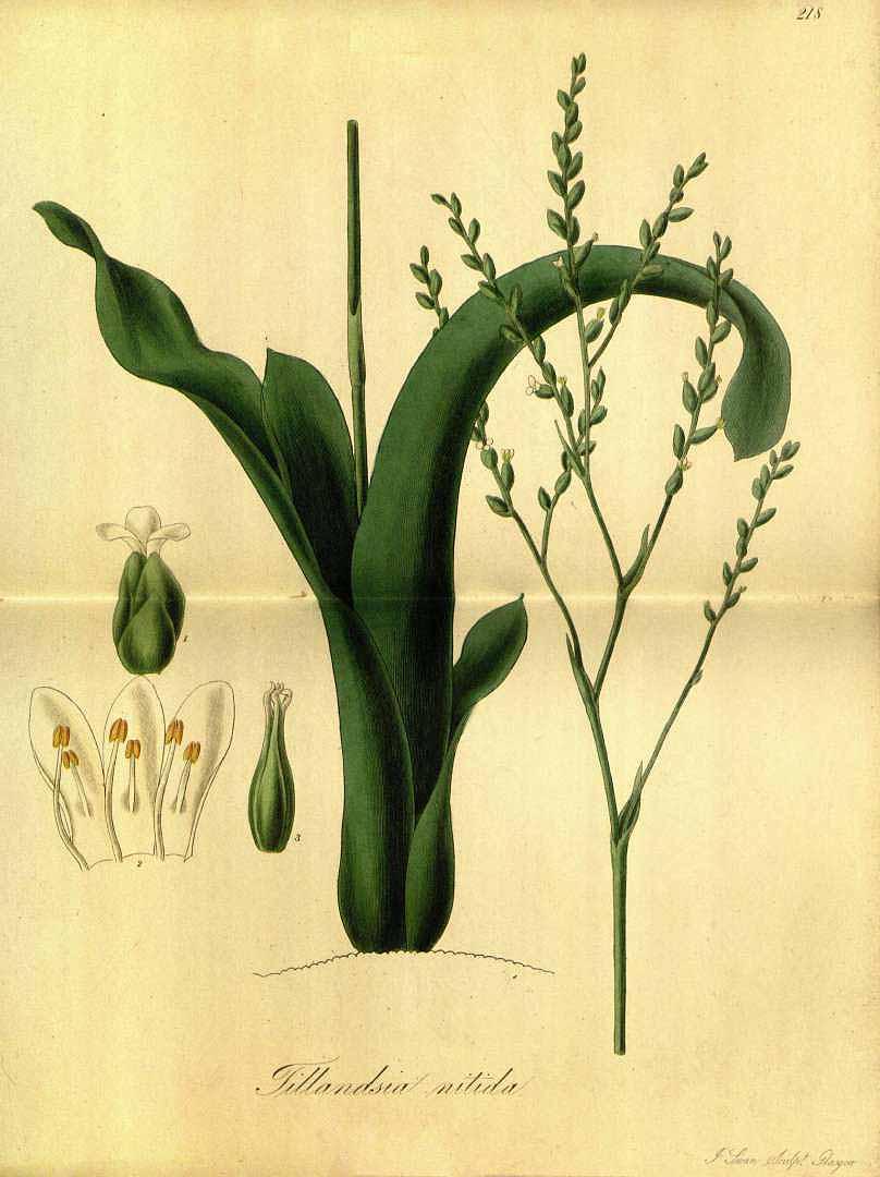 Catopsis nitida