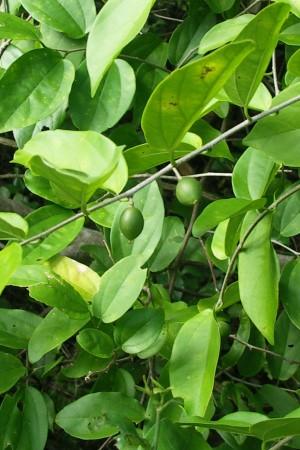 Celtis iguanaea