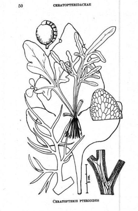 Ceratopteris pteridoides