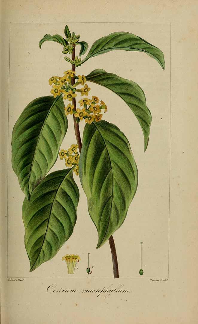 Cestrum macrophyllum