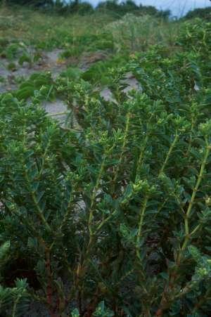 Euphorbia mesembryanthemifolia