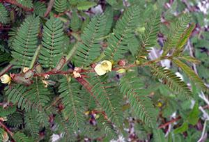 Chamaecrista nictitans