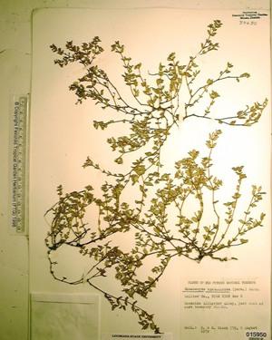 Euphorbia ophthalmica