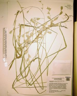 Chasmanthium nitidum