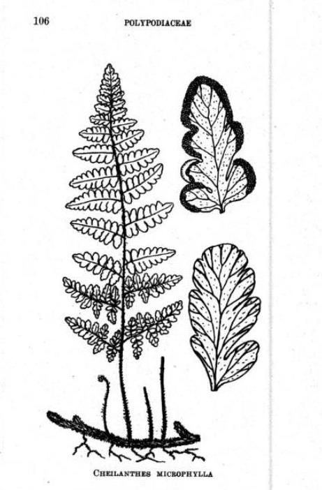 Cheilanthes microphylla