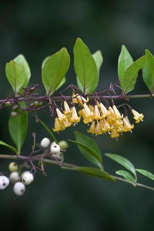 Chiococca pinetorum