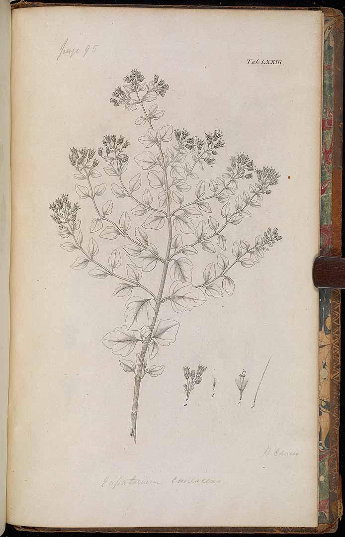 Chromolaena sinuata