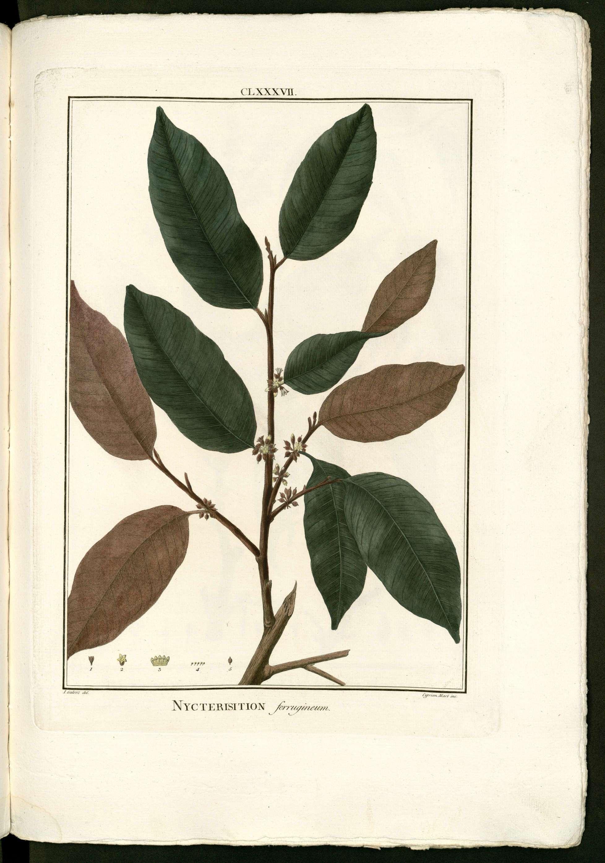 Chrysophyllum argenteum