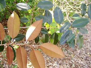 Chrysophyllum oliviforme