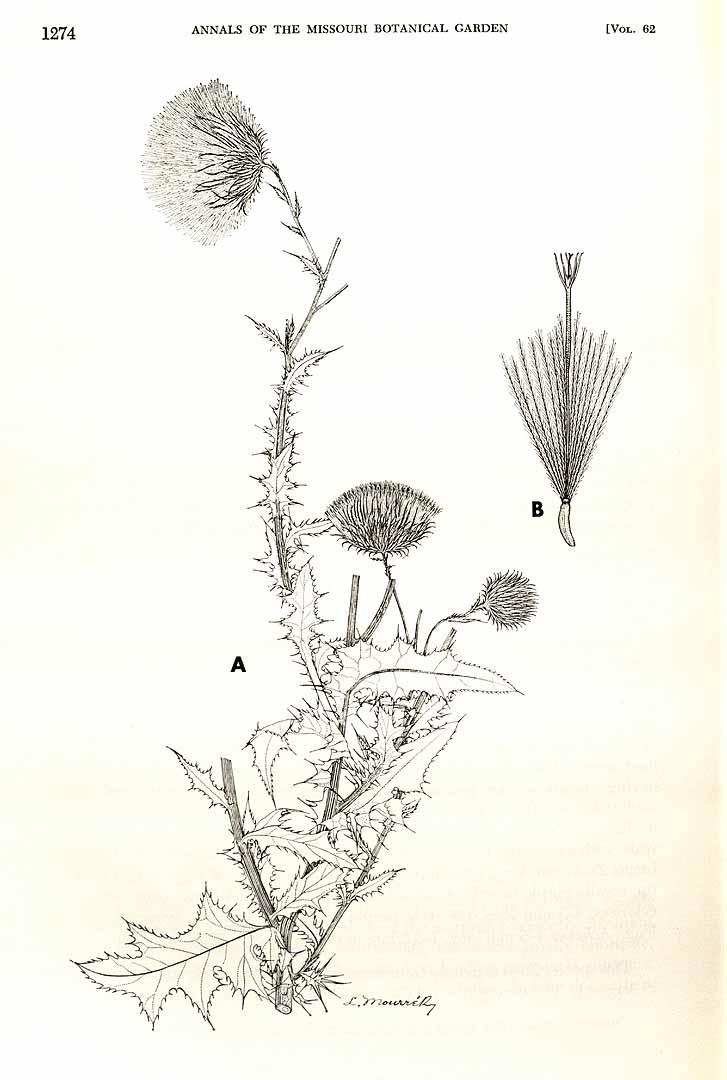Cirsium mexicanum