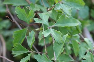 Cissus trifoliata