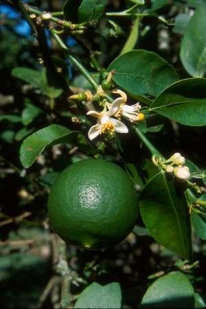Citrus x aurantiifolia