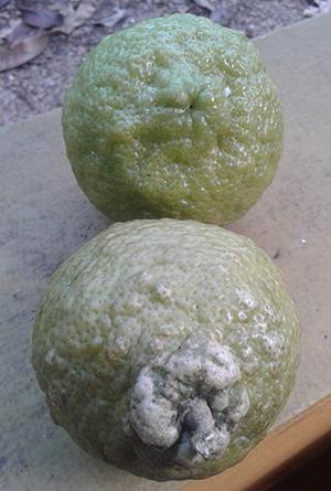 Citrus x jambhiri
