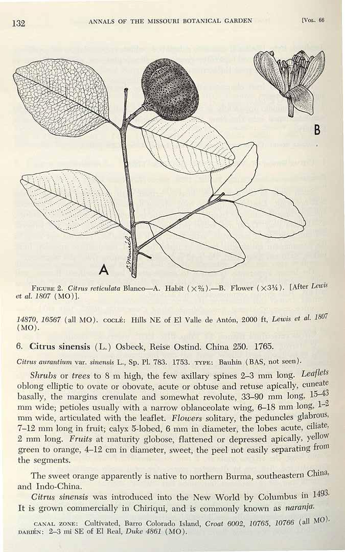Citrus reticulata