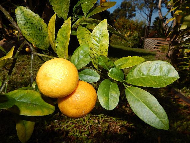 Citrus x limonia