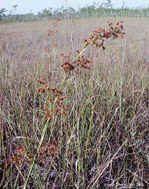 Cladium jamaicense