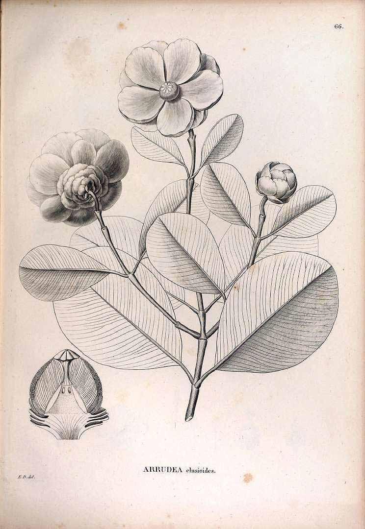 Clusia clusioides
