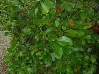 Coccoloba swartzii