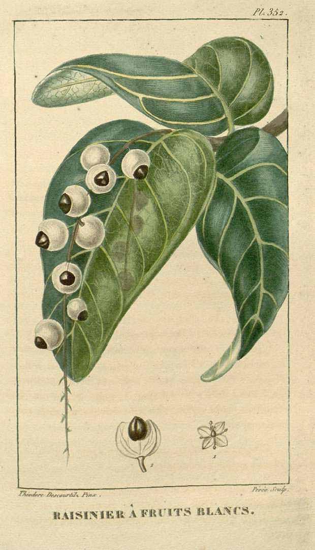 Coccoloba venosa