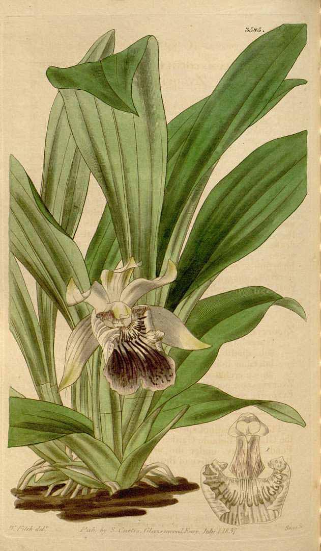 Cochleanthes flabelliformis