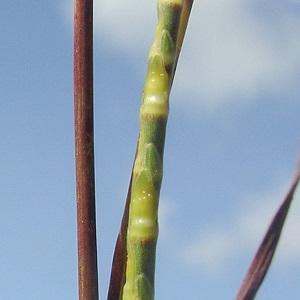 Coelorachis tuberculosa