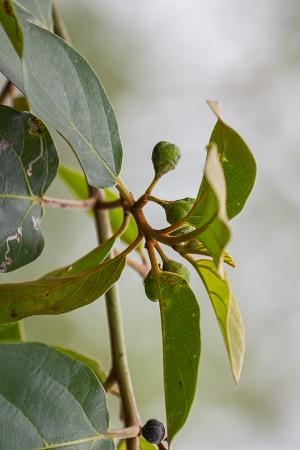 Colubrina arborescens
