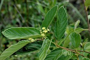 Colubrina cubensis