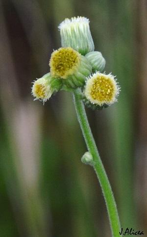 Conyza primulifolia