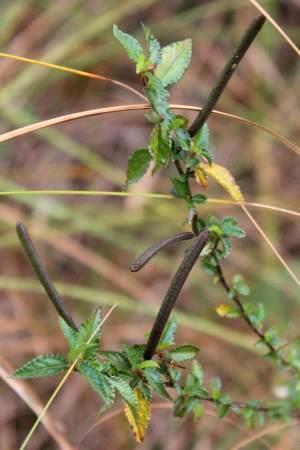 Corchorus siliquosus