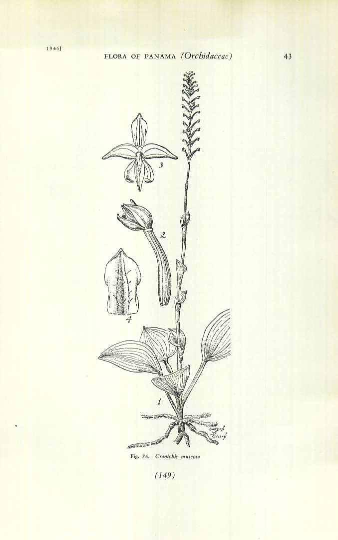Cranichis muscosa