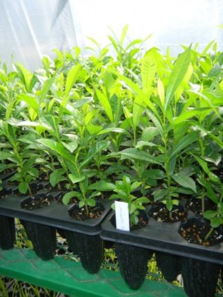 Crescentia portoricensis
