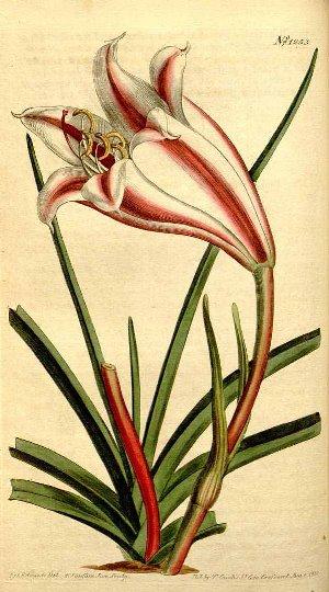 Crinum zeylanicum