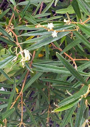 Croton linearis
