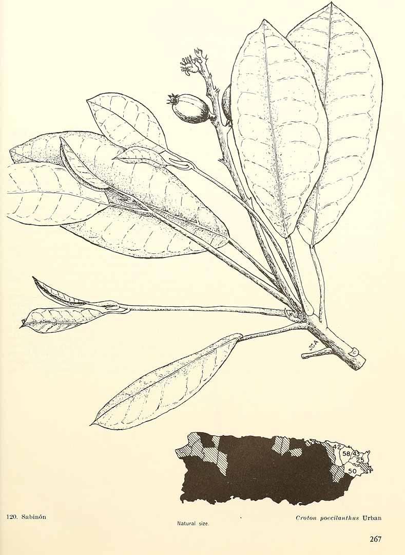 Croton poecilanthus