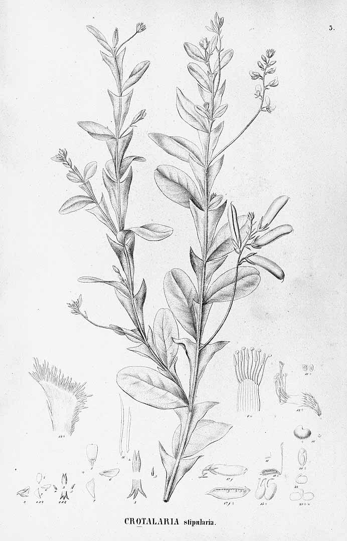 Crotalaria stipularia